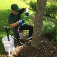 Arborist performing a fall trunk injection
