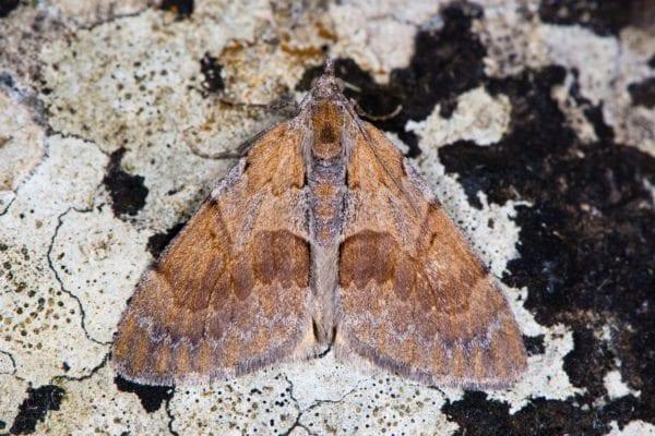 Pine Moth