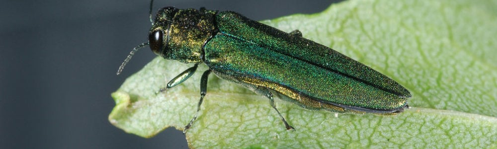 emerald_ash_borer_featured_image