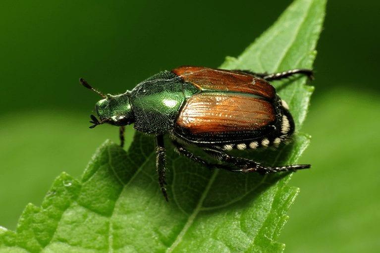 japanese_beetle_image