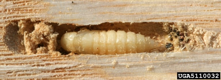 Emerald Ash Borer pupa burrowed in bark