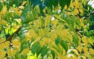 image of tree leaves during chlorosis