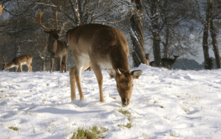 deer feeding in snow