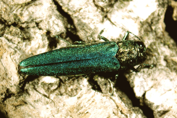 an emerald ash borer adult on a tree trunk