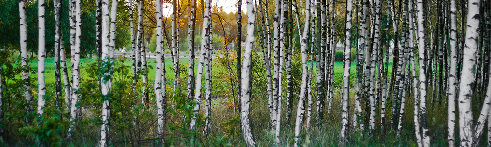 birch trees lined up