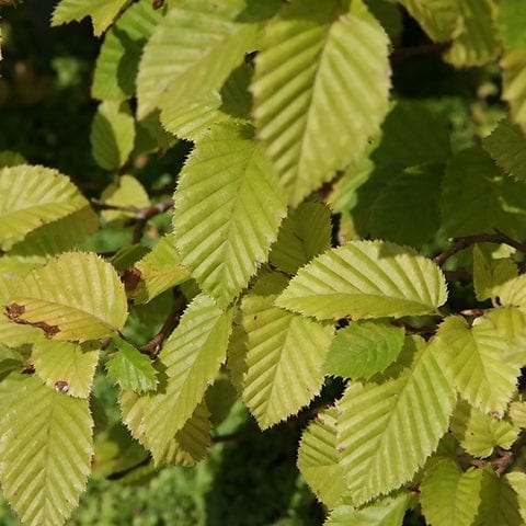 musclewood tree leaves