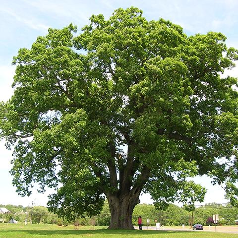 grown oak tree