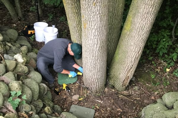 wachtel arborist performing treatment for EAB