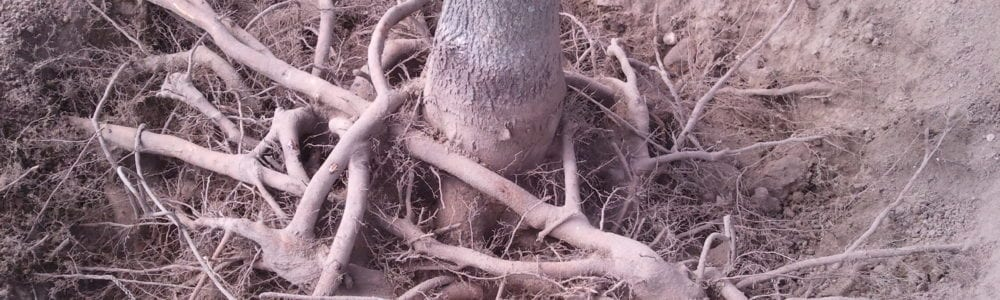tree roots girdling